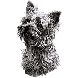 Yorkshire Terrier T-Shirt - Eye Catching Detail